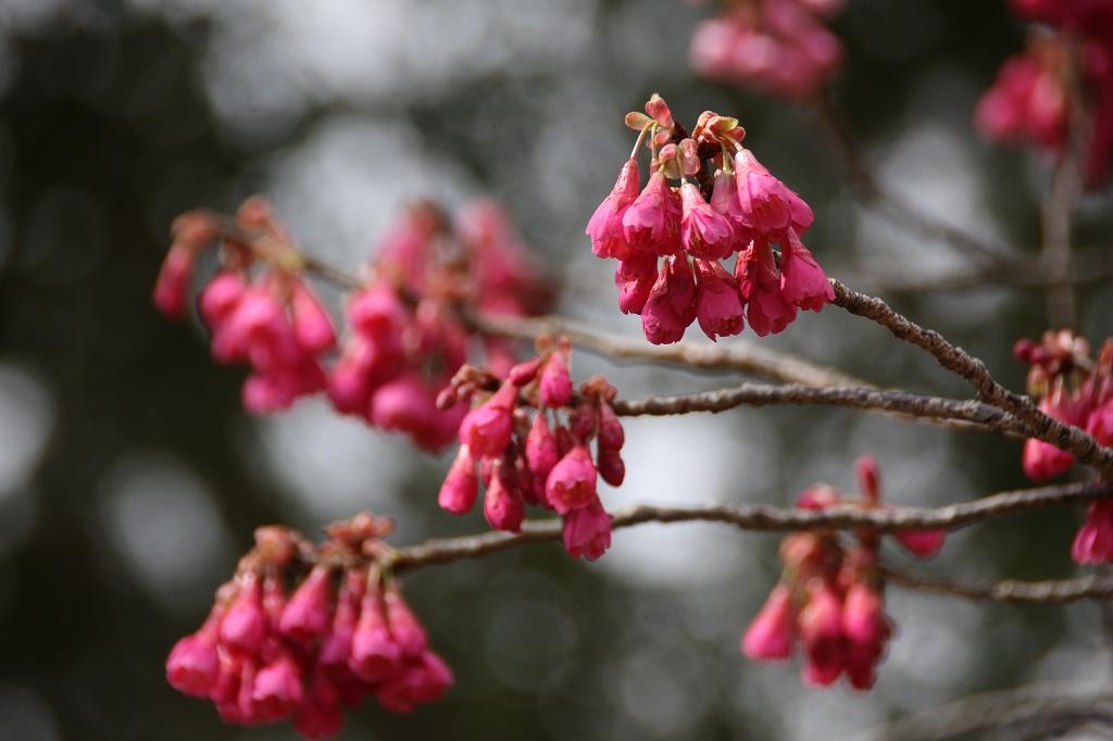 カンヒザクラ(寒緋桜) 見ごろ – 花と緑のまち推進センター