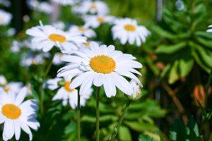 <参考>ハマギクの花