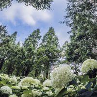 メタセコイアに囲まれたアナベルの森